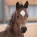 "This is a picture of Bon Braxton which Winmallee Warmbloods is importing from Germany. If you would like to know more please visit my face book page ""Winmallee Warmbloods""<br /><br />Understanding Mare and Foal Behavior (AAE)<br /><br />Mares don't usually show aggressive or negative behaviors toward other mares and foals in turnout situations, and geldings often become tolerant and protective of foals.<br />Photo:..."