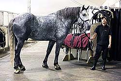 Percheron1